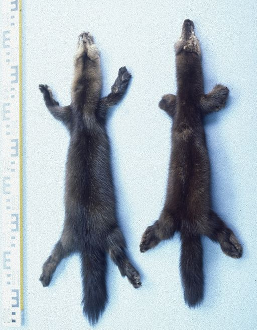 Sable pelts for reference. By Mickey Bohnacker, Presse-Fotograf, Frankfurt/Main (Own work) [Public domain], via Wikimedia Commons https://commons.wikimedia.org/wiki/File%3AMartes_zibellina_(sable)_fur_skins.jpg
