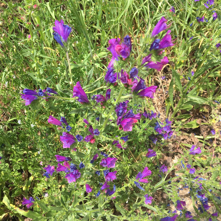 The wildflowers all along the Primitivo route were amazing. These purple-blue flowers in particular captured my fancy.