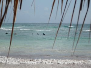 Pelicans in the surf off the coast of the Riviera Maya, near Tulum, Mexico. Photo by author taken in March, 2008.