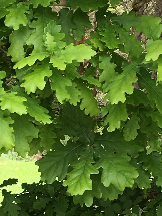 """The leaves on this oak tree were a revelation. The oak leaves I'm used to seeing at home in the US are completely differently shaped. When viewing """"oak leaf dags"""" on 14th-century clothing, however, they make much more sense when compared to an actual European oak!"""